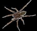 main_tegenaria-house-spider-ts
