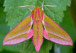 elephant-hawk-moth-photo
