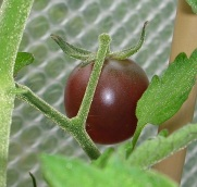 Greenhouse, Black Cherry toms c