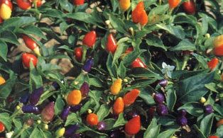 Rainbow Chilli