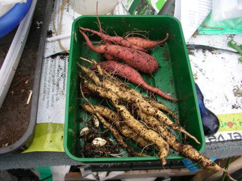 sweet-potato-harvest