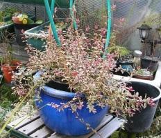 garden-winter-chilean-guava-c