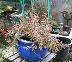 garden-winter-chilean-guava-c