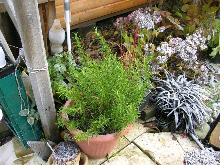 garden-winter-rosemary