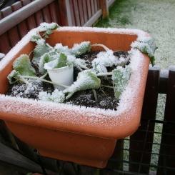 Aptly named Snowball turnip