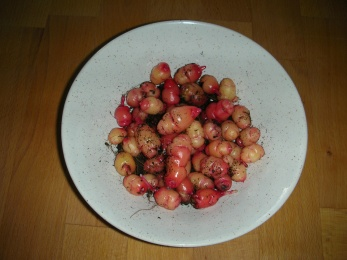 Oca, Some of the harvest
