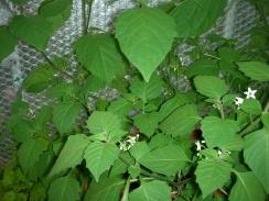 Healthy Wonderberry
