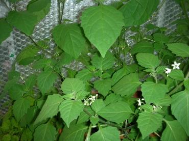 wonderberry-berries-nov