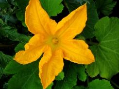 zucchini-courgette-flower-2644770-o