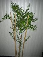 caviar-tree-2