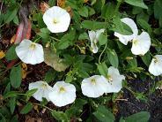 Bindweed, Field (Convolvulus arvensis) Morley Road Sapcote SP 4917 9330 (taken 19.6.2006)