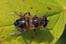 Hoverfly_(Eristalis_tenax)_female