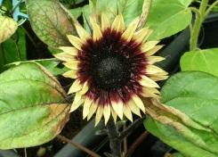 Sunflowers c