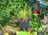 Garden Mint c