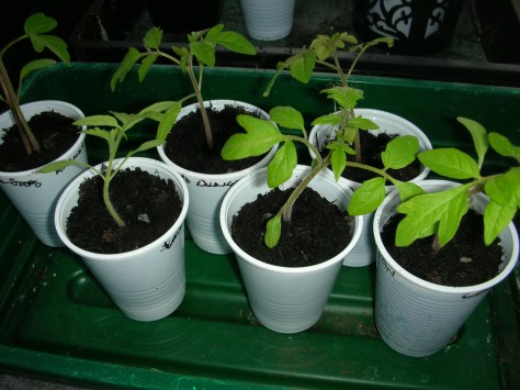 Seedlings in plastic cups
