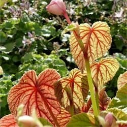 Begonia grandis subsp. evansiana