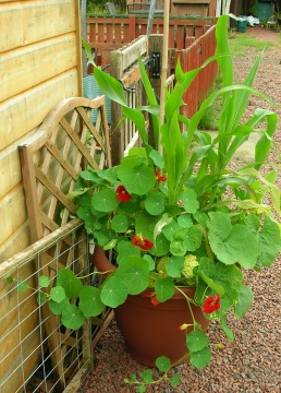 Nasturtiums, Strawberry popping corn and Chystanthemum coronarium in a pot