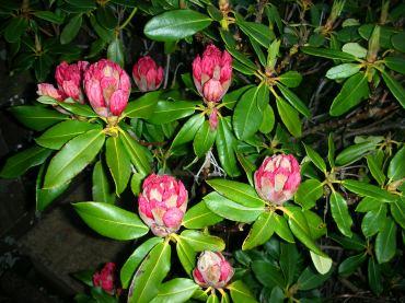 Rhododenron buds