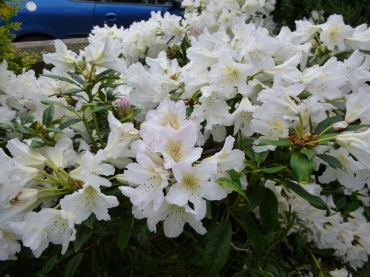 Rhododendron, white