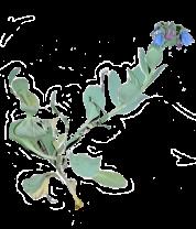 garden-oyster-plant-c41