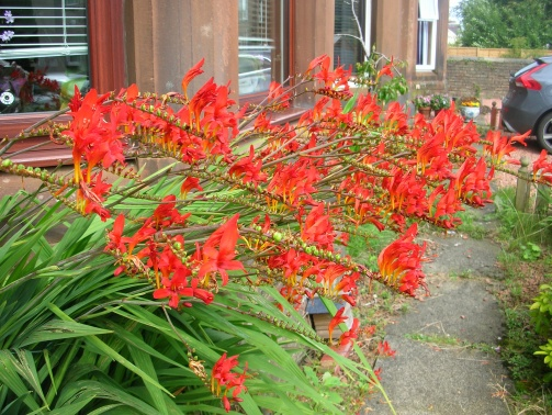 Crocosmia, Lucifer