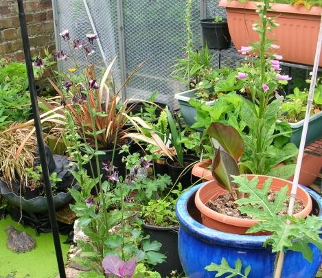 Garden, aqualegia c