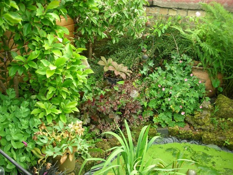 Garden, Rodgersia