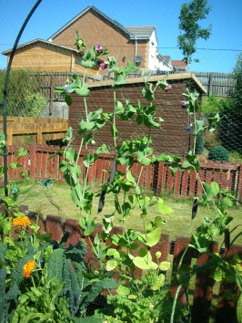 Purple Podded Peas with Kale and Marigolds