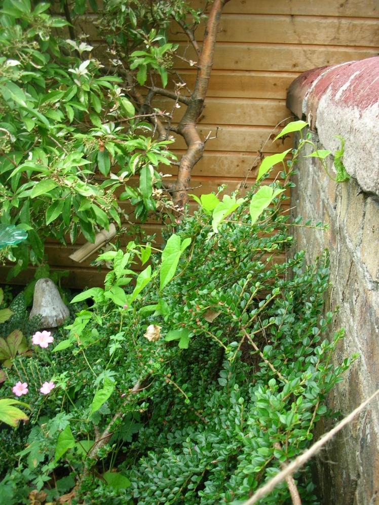 bindweed, wall