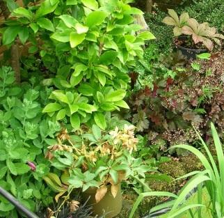 Garden, Rodgersia c