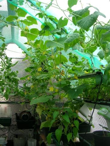 Kiwano, cucamelon and lemon cucumber