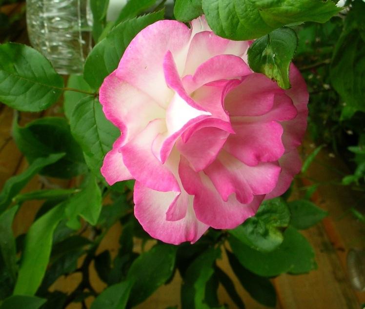 Handel rose July 2017