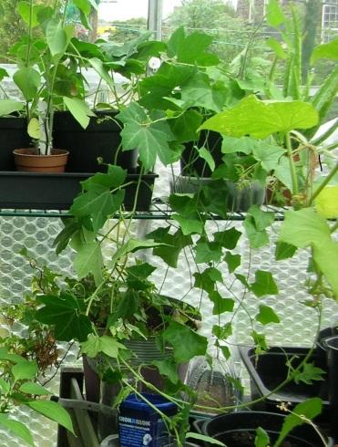 Ivy gourd trailing