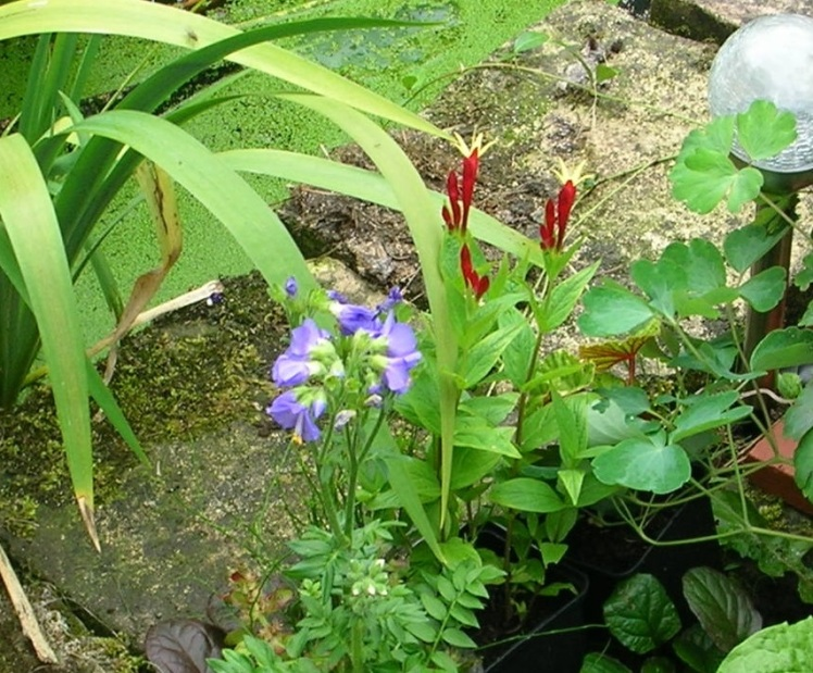 Jester plant c