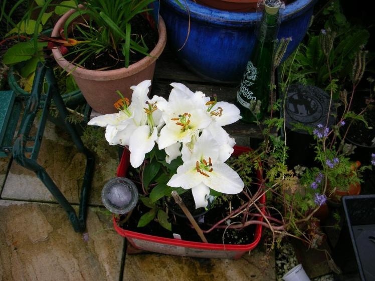 Lilies, white 1