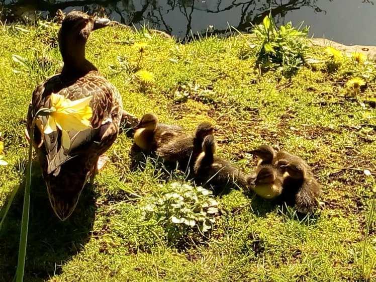ducksjs