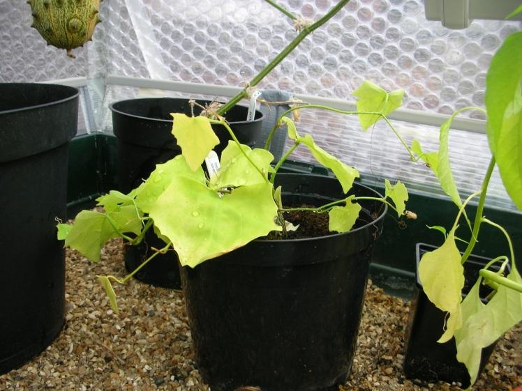 Ivy gourd 2