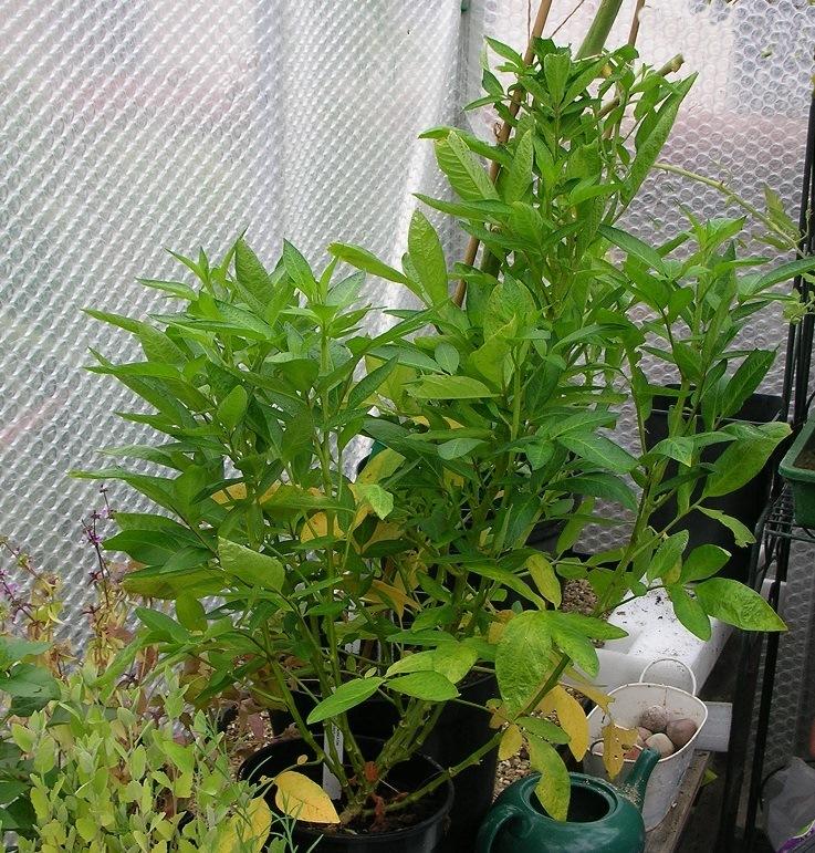 Pepino plant c