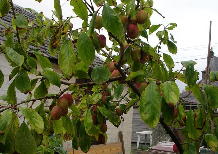 Plum tree (3)