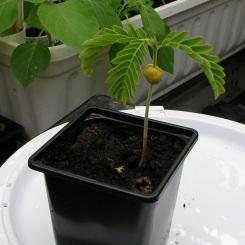 Tamarind Tree 1 c
