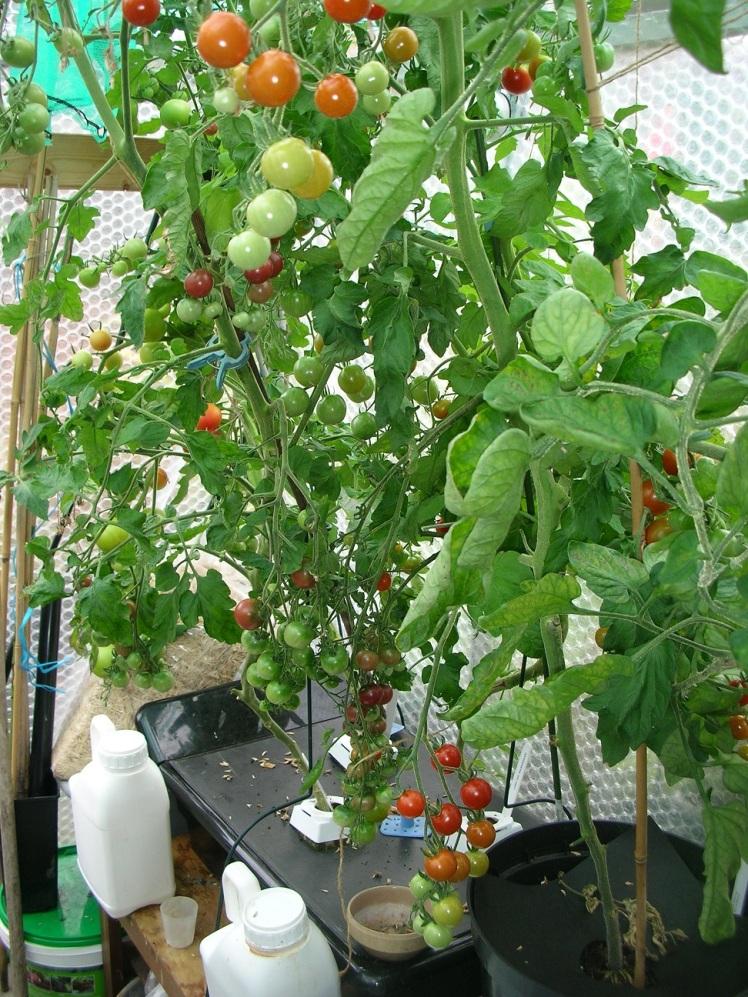 Tomatoes 2018