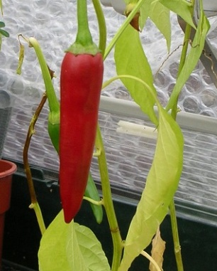 chilli pepper c