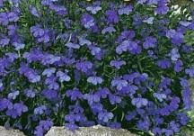 Lobelia, blue