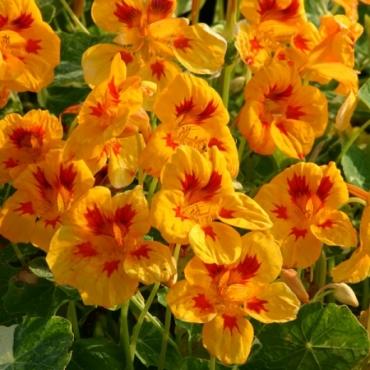 Yellow Troika