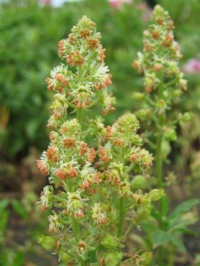 Odorato Grandiflora