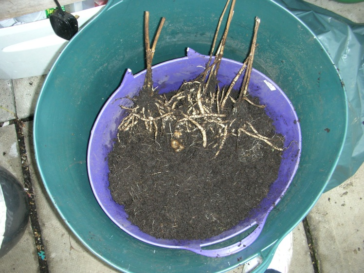 Skirret harvest