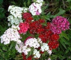 dianthus-sweet-william-double-mixed-500-seeds