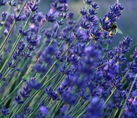 lavender-vera-300-seeds