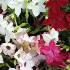 Nicotiana Sensation Mix
