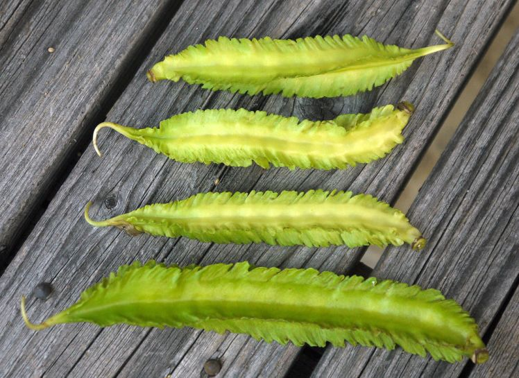 This image has an empty alt attribute; its file name is winged-bean.jpg